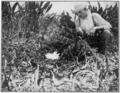 PSM V77 D376 A nest of the florida alligator.png