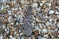 Pachypodium ambongense 0zz.jpg