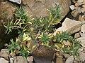 Pachypodium bispinosum 05.jpg