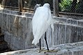 Pacific reef heron at Chittagong Zoo (01).jpg