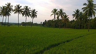 Paddy field - Irrigated paddy fields at Davanagere, India