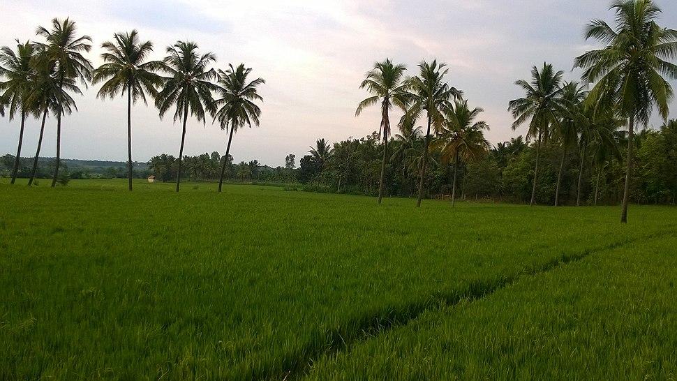 Paddyatshamanur