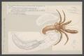 Pagurus bernhardus - - Print - Iconographia Zoologica - Special Collections University of Amsterdam - UBAINV0274 006 02 0002.tif