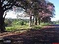 Paineiras(Ceiba speciosa) na Rodovia Mário Donegá, chegando em Ribeirão Preto - panoramio.jpg