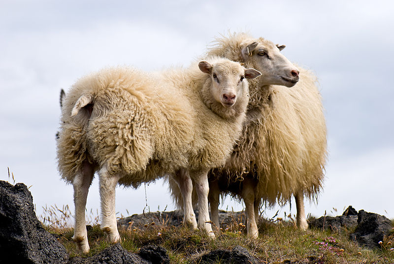 file pair of icelandic sheep