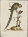 Palaeornis docilis - 1700-1880 - Print - Iconographia Zoologica - Special Collections University of Amsterdam - UBA01 IZ18500047.tif