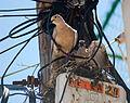 Palomas anidando sobre el cableado telefónico.jpg