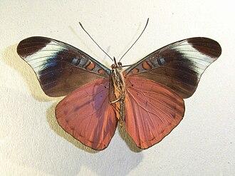 Biblidinae - Panacea procilla: Ageroniini specimen underside
