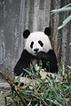 Panda-bear-on-green-grass-3608263.jpg