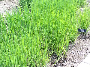Panicum virgatum - Panicum virgatum 'Heavy Metal', an ornamental switchgrass, in early summer