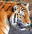Panthera tigris altaica (5523364707).jpg