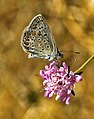 Papallona, blaveta - Polyommatus icarus (1936883805).jpg
