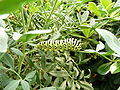 Papilio machaon 1280627.JPG