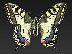 Papilio machaon MHNT CUT 2013 3 11 Cahors Female Dorsal.jpg