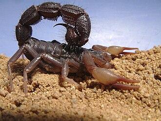 Bestoxin - South African spitting scorpion (Parabuthus transvaalicus)