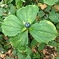 Paris quadrifolia (Einbeere) trilliaceae.jpg