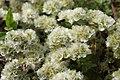 Paronychia cephalotes (49253559521).jpg