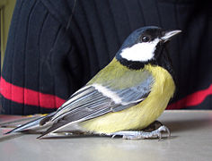 Parus Major on desk.jpg