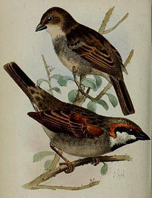 Socotra sparrow httpsuploadwikimediaorgwikipediacommonsthu