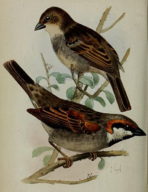 Socotra sparrow - Image: Passer insularis Smit
