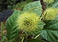 Passiflora foetida 26.JPG