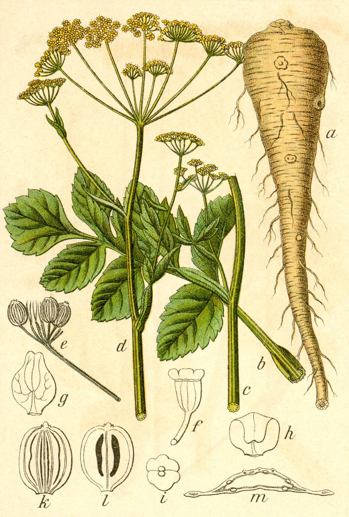 Pastinak wikipedia for Plante urticante