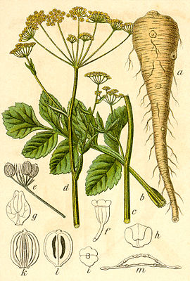 Pastinak (Pastinaca sativa), Illustration