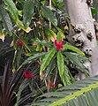 Pavoniamultiflora.jpg