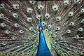 Peacock (251683455).jpeg