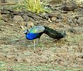 Peacock in Satpura Tiger Reserve, Madhai, Madhya Pradesh.jpg