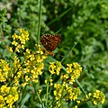 Pearl-bordered Fritillary - part 1 (17347771663).jpg
