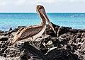 Pelícano pardo de las Galápagos (Pelecanus occidentalis urinator), Las Bachas, isla Santa Cruz, islas Galápagos, Ecuador, 2015-07-23, DD 28.jpg