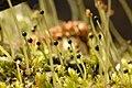 Pellia.epiphylla3.-.lindsey.jpg