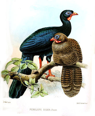 Highland guan - Male (blue-black) and female (brown)