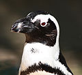 Penguin Face (8001523266).jpg