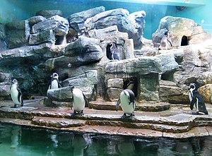 Vivarium - Penguinarium containing Humboldt penguin in Prague Zoo.