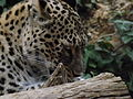 Persian Leopard 07.jpg