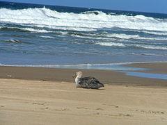 Petrel gigante en Cabo Polonio.JPG