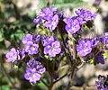 Phacelia crenulata 15.jpg