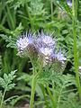 Phacelia tanacetifolia02.jpg