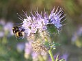 Phacelia with bee - geograph.org.uk - 208355.jpg
