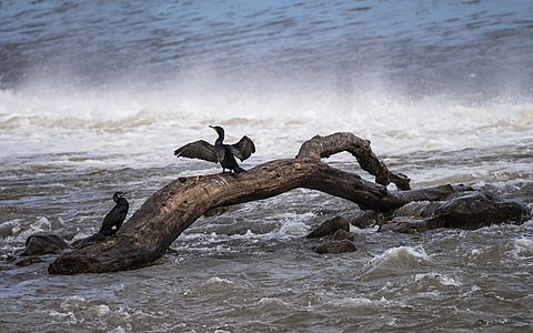Phalacrocorax carbo (Great cormorant)