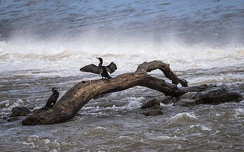 Phalacrocorax carbo (Great cormorant)