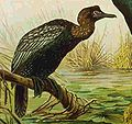 Phalacrocorax pygmeus NEUMANN.jpg