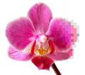Phalaenopsis JPEG.png