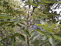 Phellodendron amurense.jpg