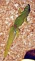 Phelsuma serraticauda male.jpg
