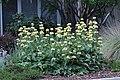 Phlomis russeliana IMG 0116.jpg