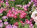 Phlox from Lalbagh flower show Aug 2013 8410.JPG