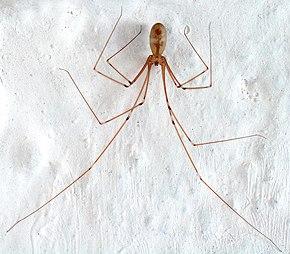 Faucheux Araignée pholcidae — wikipédia